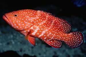 Spotted Coral Grouper